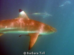 Blacktip shark by Barbara Toll 